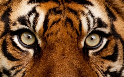 Focus – The Eye of The Tiger