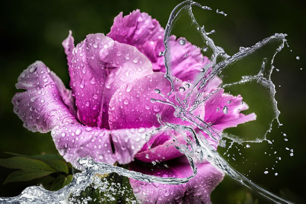pink flower being splashed by water