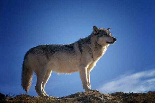 photo of wolf blog for the positive psychology people